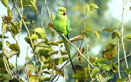 Indian parrot sitting on a tree branch. The rose-ringed parakeet is sexually dimorphic. The adult male sports a red or black neck ring and the hen and immature Royalty Free Stock Images