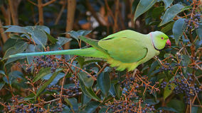 Indian parrot in the tropical forest Royalty Free Stock Images