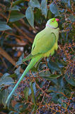 Indian parrot in the tropical forest Stock Image