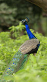 Indian peacock Stock Images