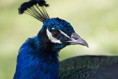 Indian peacock in Arizona Royalty Free Stock Images