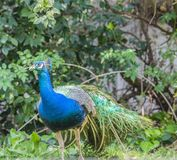Indian Peacock or Blue Peacock, Pavo cristatus , facing camera and showing blue feathers. On neck and upper body and and crest and eye visible royalty free stock photos