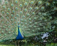 Indian Peacock or Blue Peacock, Pavo cristatus , facing camera showing upright feathers. In a fan and ready for courtship royalty free stock photo