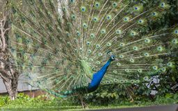 Indian Peacock or Blue Peacock, Pavo cristatus , looking to right. With upright feathers in full display with perfect eye spots royalty free stock image