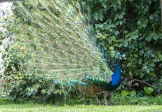 Indian Peacock or Blue Peacock, Pavo cristatus , looking to right with upright feathers. In full display with perfect eye-spots stock photos