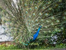 Indian Peacock or Blue Peacock, Pavo cristatus , showing upright feathers. In a fan and very blue feathers on neck royalty free stock photo