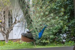 Indian Peacock or Blue Peacock, Pavo cristatus, looking right with upright feathers. And some brown feathers on rump stock image