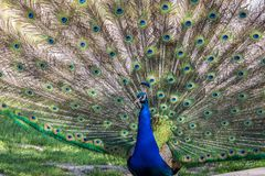 Indian Peacock or Blue Peacock, Pavo cristatus in the zoo royalty free stock photo
