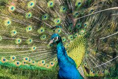 Indian Peacock or Blue Peacock, Pavo cristatus in the zoo royalty free stock photography