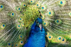 Indian Peacock or Blue Peacock, Pavo cristatus in the zoo stock photography