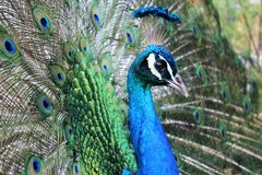 Indian peacock Stock Image