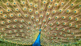 An Indian Peacock close up stock images