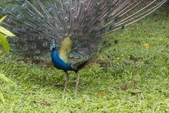 Indian peacock dancing Royalty Free Stock Photos