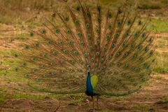 Indian peacock dancing in the rain at bandipur forest area watching its visitors who are in the jeep safari. Karnataka india royalty free stock photo