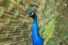 Indian peacock Royalty Free Stock Photo