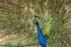 Indian peacock displays vibrant and colorful feathers Stock Photo