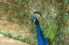 Indian peacock displays vibrant and colorful feathers Royalty Free Stock Photography