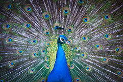 Indian Peacock with fanned tail. Stock Images