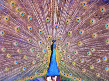 Indian Peacock Fanning its feathers Stock Photos