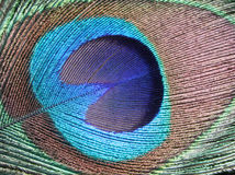 Indian peacock feather Stock Photos