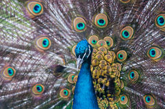 Indian Peacock with Feathers Stock Images