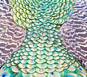 Indian Peacock Feathers. Closeup image of an Indian Peacocks` feathers stock photography