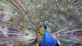 Indian Peacock in full display Royalty Free Stock Photos