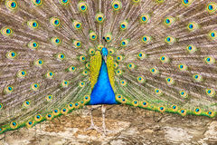 Indian Peacock With Full Feathers Royalty Free Stock Image