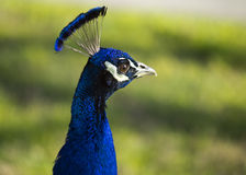 Indian Peacock Royalty Free Stock Photography
