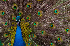Indian peacock. An indian peacock in the Moscow Zoo Stock Photography