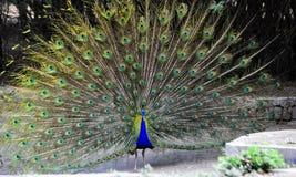 Indian peacock open winks delhi zoo peacock birds stock image
