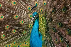 Close-up portrait of male blue peafowl with open beak and raised tail royalty free stock photos