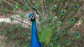 An Indian peacock (Pavo cristatus) displays vibrant and colorful feathers stock video footage