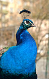 Indian peacock (Pavo cristatus) (focus on eye). Head and neck of Indian peacock (Pavo cristatus) (focus on eye Stock Images
