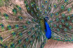 Indian Peacock Pavo cristatus male spreading its feathers showing off colours royalty free stock photos