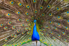 Indian peacock ( Pavo cristatus ) Royalty Free Stock Photo