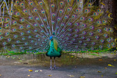Indian peacock ( Pavo cristatus ) peafowl Stock Photos
