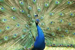 Indian peacock or peafowl, costa rica Stock Images