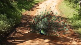 Indian peacock peafowl stock video footage