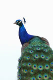 Indian peacock portrait Royalty Free Stock Image