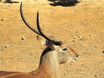 Waterbuck Kobus Royalty Free Stock Images