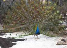 Indian peacock Royalty Free Stock Images