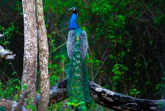 Indian peacock - Pavo cristatus. Indian peacock sitting on a tree Stock Photo