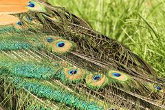 Indian peacock tail feather detail on grass Stock Image