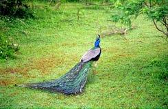 Indian peacock, Yala West National Park, Sri Lanka. Indian peacock in Yala West National Park, Sri Lanka Royalty Free Stock Images