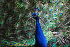 Indian Peafowl. Closeup picture on an Indian Peafowl with its tail opened Stock Photography