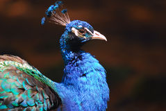 Indian Peafowl. Closeup picture of a very colorful Indian Peafowl Stock Images
