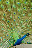 Indian peafowl. Or Pavo cristatus at Safari world, Thailand stock image