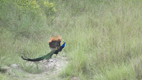 Indian peafowl in Bardia, Nepal Stock Image