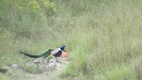 Indian peafowl in Bardia, Nepal Stock Photos